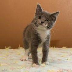 Kit Kat: Domestic Short Hair - Gray And White, Cat; Neenah, WI