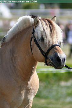 Norwegian Fjord stallion Nigards Rasmus