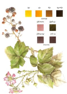 Natural dyeing: Blackberry