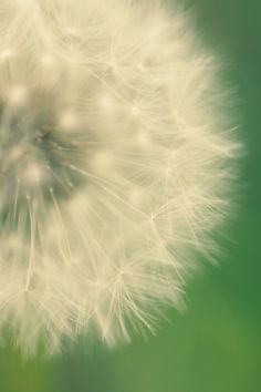 Dandelion Art Print - Flower Photography - Simple Muted Colors, Green, Creamy White - Wish Flower 1