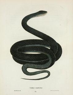 black snake illustration