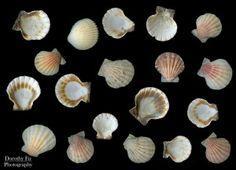 seashells-scanography-photography-shells