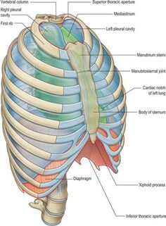 Thorax: overview and surface anatomy Medicine Notes, Medicine Student, Thoracic Cavity, Human Skeleton Anatomy, Anatomy Bones, Nursing School Notes, Biology Lessons, Human Anatomy And Physiology, Medical Anatomy