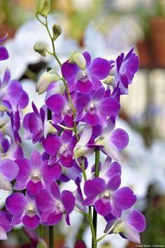 Dendrobium phalaenopsis 'Anna' avec des fleurs rose tyrien. Une orchidée qui exige beaucoup de lumière et des températures de 20-22 degrés pour pousser correctement. Plante Carnivore, Most Beautiful Flowers, Gladiolus, Shade Garden, Planting Flowers, Projects To Try, Anna, Nature, Plants