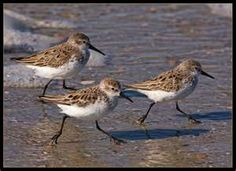 Sandpipers... love when there are sandpipers running the beach when it's quiet.