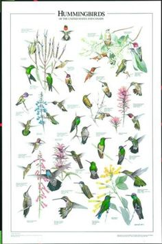 Hummingbirds of the U.S. and Canada Wall Poster