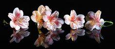 Alstroemeria.  Krásne kvety s odrazom