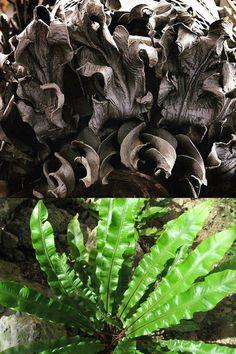 La llengua de cèrvol la trobem representada a la cabina del porter, entre els arcs de l'entrada principal. Front Entrances, Cabins, Spring, Plant