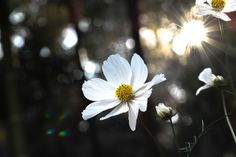 Sun and white cosmos.  I've taken and developed so that the dark background.  Off-season just around the corner?
