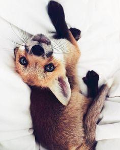 Просто домашняя лиса от маленького лисенка до шаловливой красавицы =) лиса, фото, длиннопост, не мое