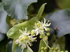 Tilia cordata: The national flower of the Czech Republic ( Image by Radio Tonreg ) Diy And Crafts, Homemade, Flowers, Plants, Image, Czech Republic, Pills, Home Made, Plant
