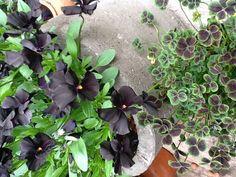 misterious black violets in concrete pot