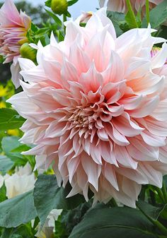 "Dahlia - Old House Gardens Heirloom Bulbs. CAFE AU LAIT, 1967.Exquisite coloring – ""creamy pink, blush, peach, ivory, champagne, and dusty rose."" You'll get lots of big, ruffled blooms with long, strong stems on a sturdy plant that blooms and blooms. 6-10"", 4', from Holland. SD80 Add to basket: 1/$10 3/$27.50 5/$43 10/$80 25/$180"