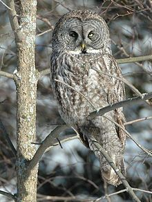 """The Great Grey Owl, lives in the Northern Hemisphere and is believed to be the world's largest owl with an average wingspan of 56""""."""