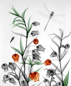 Sandersonia, by medical physicist Arie van't Riet ~ the beauty of x-ray photography #art #biorama
