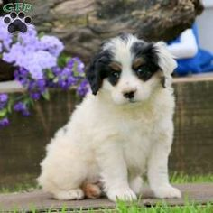 Mini Bernedoodle puppies for sale! These loving, playful Miniature Bernedoodle puppies are a cross between a Miniature/Toy Poodle & a Bernese Mountain Dog. Baby Puppies For Sale, Bernedoodle Puppy, Greenfield Puppies, Mountain Dogs, Poodle, Cute Babies, Animals, Animales, Animaux