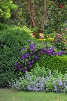 Jackmanii clematis, Walkers low catmint and boxwoods.  A Planters design.  Atlanta, GA