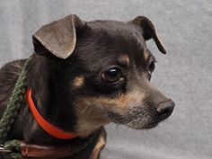Adopt Meg, a lovely 6 years 7 months Dog available for adoption at Petango.com. Meg is a Chihuahua, Short Coat and is available at the National Mill Dog Rescue in Colorado Springs, Co. www.milldogrescue.org #adoptdontshop #puppymilldog #rescue #adoptyourfriendtoday
