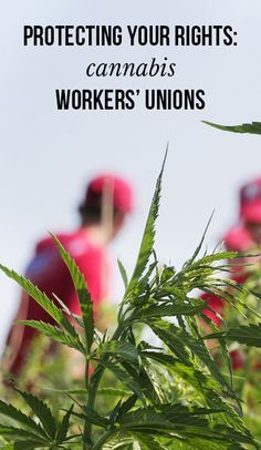 Protecting your rights: Cannabis workers' unions | massroots.com