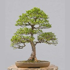 Bonsai Photo of the Day 1-18-2018 – BonsaiJack.com #bonsaijack #bonsai
