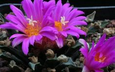 Ariocarpus agavioides – Tamaulipas Living Rock Cactus
