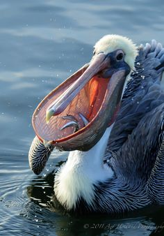 An adult Pacific Brown Pelican with three bait fish in it's pouch in the early morning. | © Art Holland