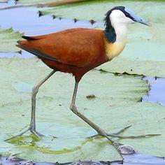 BIRDS: African Jacana (Kruger National Park)…