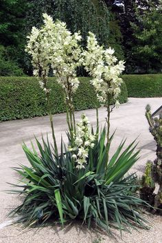 Yucca filamentosa Adam's needle yucca tall, with flower stalk to tall spruce green leaves flowers mid-summer great at corners of beds evergreen suitable for xeriscaping Plants, Evergreen Shrubs, Yucca Plant, Shrubs, Dry Garden, Northwest Garden, Trees To Plant, Xeriscape, Garden