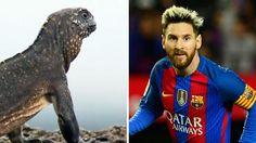 #La iguana Messi, el fenómeno viral que explotó en las redes sociales - Infobae.com: Infobae.com La iguana Messi, el fenómeno viral que…