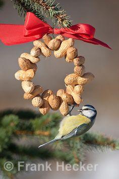 Blaumeise, an der Vogelfütterung, Fütterung im Winter bei Schnee, am Nuss-Ring, Nusssring, selbstgebasteltes Vogelfutter, Erdnüsse, Winterfütterung, Blau-Meise, Meise, Parus caeruleus, blue tit
