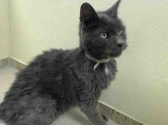 TO BE DESTROYED 1/30/14 ** Please advocate widely for Jack right away! Brooklyn Center My name is JACK. My Animal ID # is A0990242. I am a neutered male gray domestic sh mix. The shelter thinks I am about 7 YEARS old. I came in the shelter as a STRAY on 01/24/2014 from NY 11420, owner surrender reason stated was STRAY https://www.facebook.com/photo.php?fbid=737912192887282&set=a.576546742357162.1073741827.155925874419253&type=1&relevant_count=1