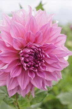 Die Dahlie 'Cafe au Lait Rose' hat herrlich gedrehte Blütenblätter in einer leicht wilden Form und in mehreren Nuancen von Rosa 🥰 Sie bis über einen Meter groß und entwickelt bis zum ersten Frost im Herbst unentwegt neue Knospen. Ein blühender Traum für den Sommergarten ☀️