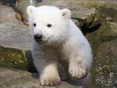 Pequeño oso polar saliendo del agua