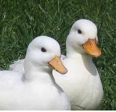 call ducks photos - Google Search
