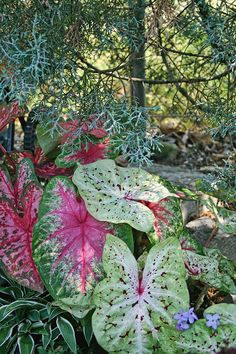 ✯ Magical Caladium Wonderland