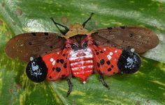 Fulgorid hopper (Penthicodes sp ?), warning display