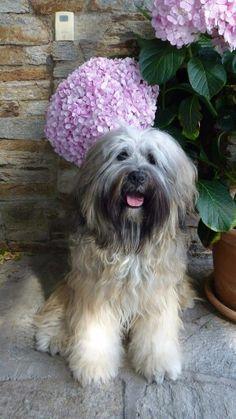15 month tibetan terrier