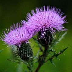 Bull Thistle (Cirsium vulgare) Official flower of Scotland