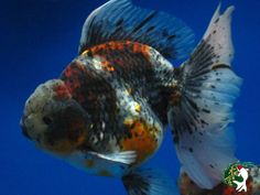 Top grade Lionhead goldfish