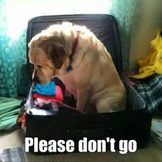 don't forget to pack your labrador. I Love Dogs, Puppy Love, Cute Dogs, Animals And Pets, Funny Animals, Cute Animals, Baby Animals, Wow Photo, Mundo Animal