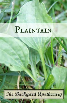 Plaintain, a common weed, actually packs quite a healing punch!