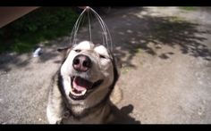 Be like Silver, chill as heck. Namaste. | There Is Nothing Happier In The Whole World Than This Husky Getting A Massage From A Head Scratcher