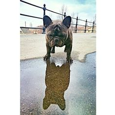 'What...Whose That?' French Bulldog sees his Reflection.