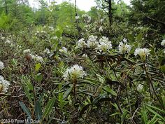 Photos and information about Minnesota flora - Labrador Tea: rounded cluster of white flowers with 5 petals, long white stamens and a greenish center
