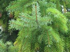 Pine Needles, container rich assorted bioflavonoid, Proanthocyanidins (Pycnogenol), enhances Vitamin C. Holistic Medicine, Natural Medicine, Natural Cures, Natural Healing, Health Remedies, Home Remedies, Types Of Pine Trees, Edible Wild Plants, Wild Edibles