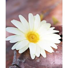White and Yellow Daisy Hair Clip via Polyvore