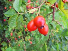rose hip - Google Search