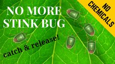 Tried and tested way to deal with the stink bug. No pesticides and chemicals. For a healthy vegetable garden for us and our family. Good luck! Watch the entire video because the end is really worth it. Stink Bugs, Healthy Vegetables, Vegetable Garden, Youtube, Gardening, Watch, Easy, Clock, Vegetables Garden