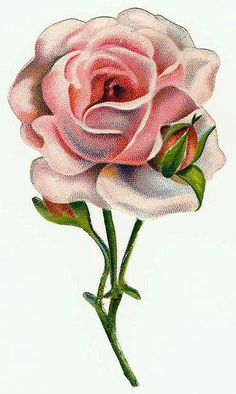 Victorian rose in pink