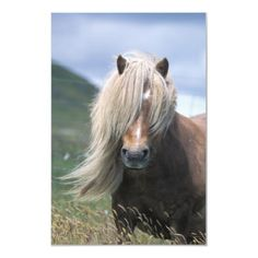 The diminutive Shetland Pony is an important part of the Shetland, Scotland farming tradition. The first written record of the pony was in 1603 in the Court Books of Shetland and, for its size, it is the strongest of all the horse breeds.